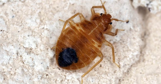Bed bugs multiply quickly, and in just six months, a few can turn into a full-on infestation of 13,000 or more. For bed bug pest control, contact 603 Pest!