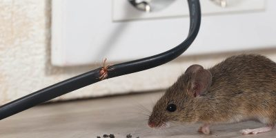 Mice Infestation - 603 Pest