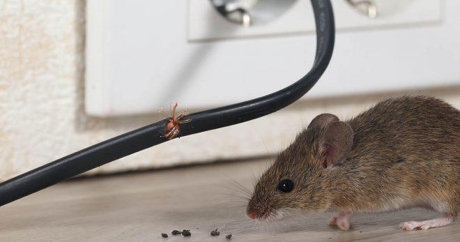 Mice Infestation - 603 Pest