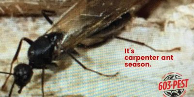 image of Carpenter Ant